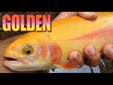Stalking A Rainbow Golden Trout HD