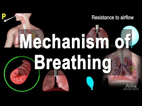 Mechanism of Breathing, Animation