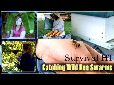 Catching Wild Bee Swarms
