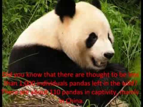 Endangered animals campaign- Save the Pandas.