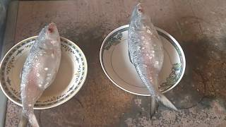 hilsa from padma and chandpur