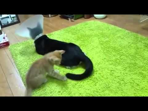 Kitten won't stop playing with cat's tail