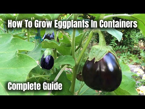 How To Grow Eggplants In Containers - The Complete Guide To Growing Eggplants