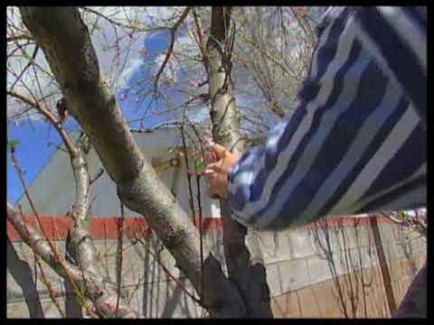 How To Prune A Peach Tree & Trim Raspberry Plants