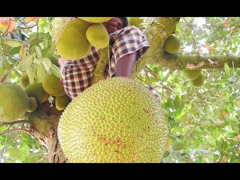 How to cut up Jackfruit Natural 4m Jack fruit Tree | Health Benefits of Ripe Jakfruit Rural Food