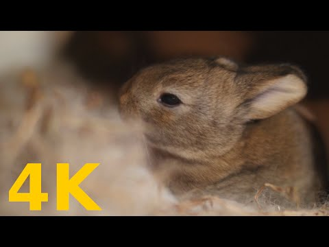 4K Free Stock Footage: Cute Newborn Bunnies (7)