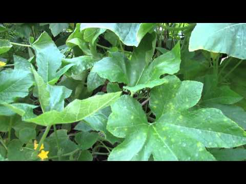 Treatment for White Spots or Powdery Mildew on Cucumber & Squash Plants - The Rusted Garden 2013