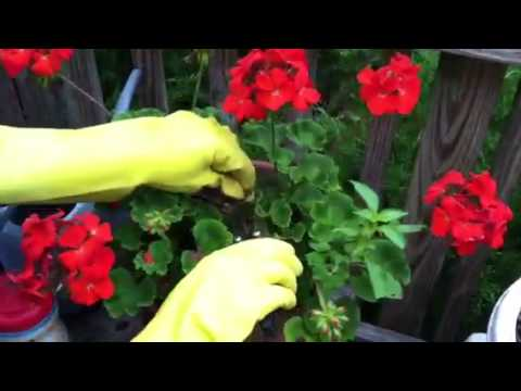 Pruning & Fertilizing Red Geraniums - Episode 1 #howtoprune #howtofertilize