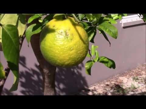 Intense Lemon Tree Trimming - THEY LOVE IT!
