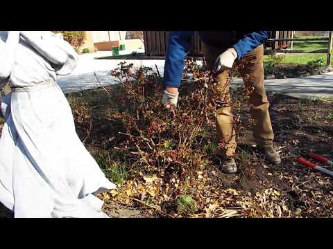 How-To: Prune a Knock Out Rose: EXTENDED VERSION - Jason Swope - Master Gardener