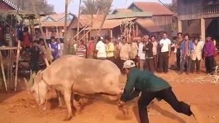 How Phnong ethnic Buffalo beheaded in Cambodia. ប្រពៃណីកាប់ក្របីរបស់ជនជាតិភ្នង នៅកម្ពុជា