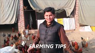 Golden misri hen farming in Pakistan/Golden misri desi hen