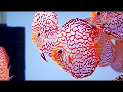 3 Easy Way to Clean Discus Aquarium