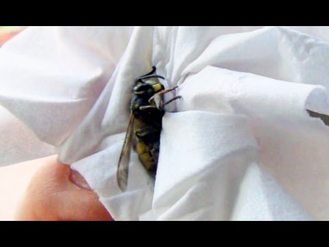 How To Catch Release A Wasp Bee Using Tissue Paper & Not Get Stung