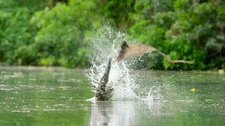 Flying Foxes Vs Freshwater Crocodile - Lands of the Monsoon - BBC
