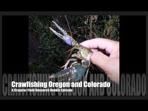 Catching Wild Crawfish in Oregon and Colorado Crayster Field Researcher Video Crawdad Mudbug