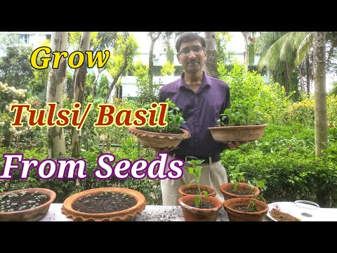 How to grow Tulsi or Basil from Seeds at Home.