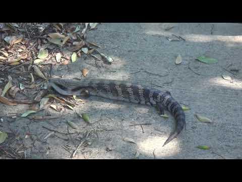 AwA Australian Eastern Blue Tongue Lizard Skink