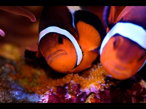 Clownfish Spawning Macro