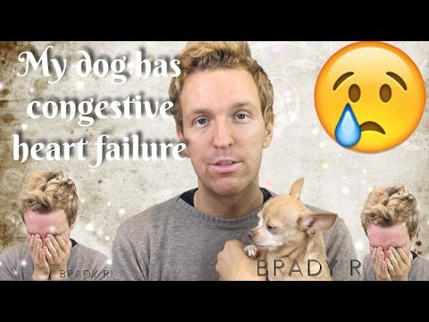My Dog Has Congestive Heart Failure Chihuahua
