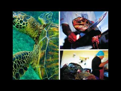 help save the hawksbill sea turtle