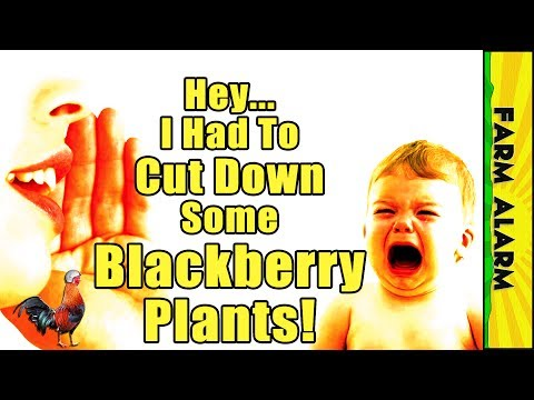 You need to mow over Healthy Blackberry Plants