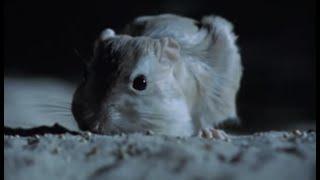 Aggressive nightlife of the Kangaroo Rat   Attenborough    BBC