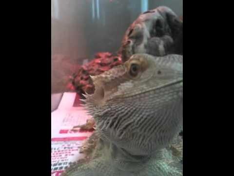 Bearded Dragon Head Movement