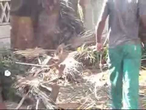 Removing palm tree leaves