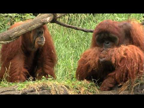 Xxx Mp4 Zoo View Sumatran Orangutan Cincinnati Zoo 3gp Sex