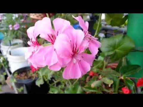 Ivy Pelargoniums & Zonal Geraniums in Bloom - HD