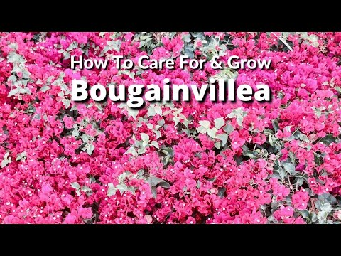 How To Care For and Grow Bougainvillea A Flowering Machine / Joy Us Garden