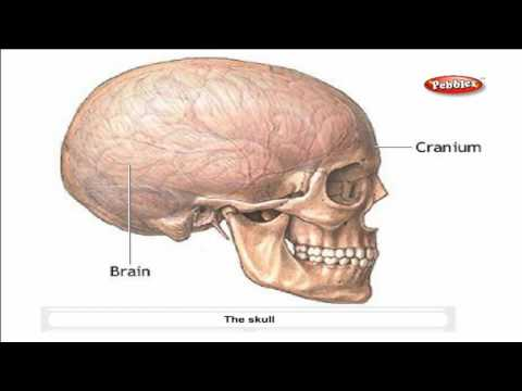 Cbse 5th CBSE SCIENCE | Skeletal System | NCERT | CBSE Syllabus | Animated Video