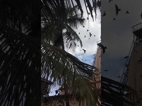 Unusaul behavior of pigeons at Jain Temple in Kochi