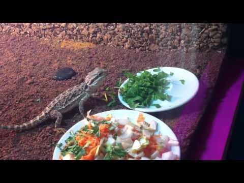baby Bearded dragon eating his veggies HD