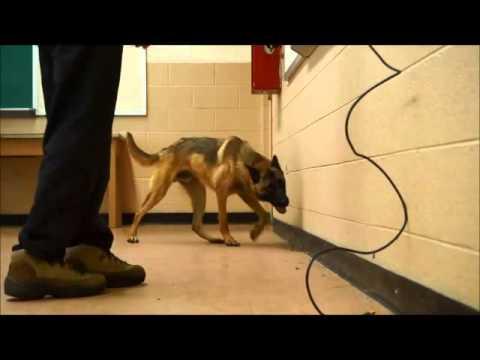Drug Detection Dog, Belgian Malinois