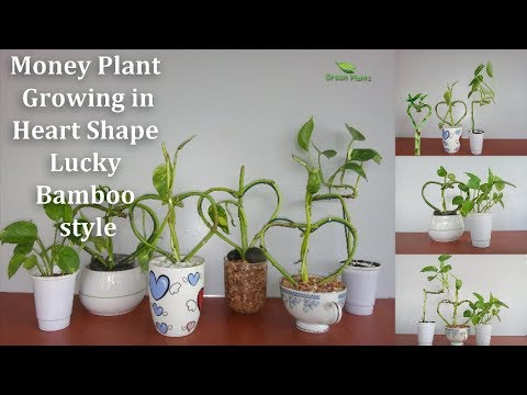 Money Plant Growing in  Heart Shape Lucky Bamboo style | How To Grow Money Plant  // GREEN PLANTS