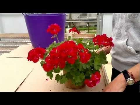 How to cut back pelargoniums(Geraniums)