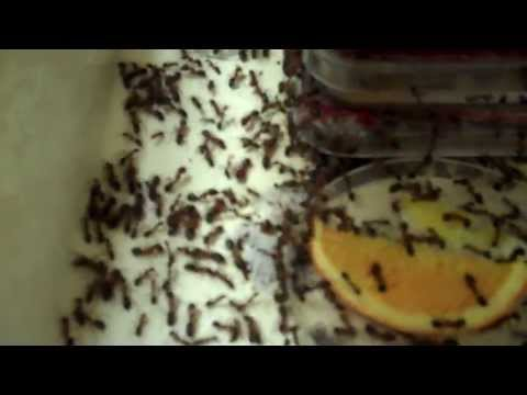Carpenter ants, Crazy ants and Ghost Ants at the University of Florida in Gainesville