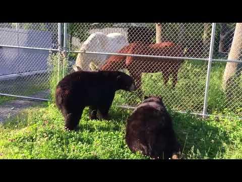 Bears meet horses, horses meet bears!