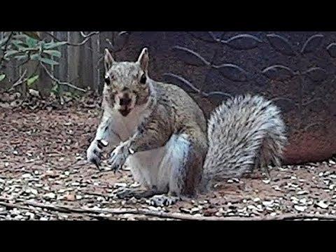Squirrels - Up Close Backyard Feeding