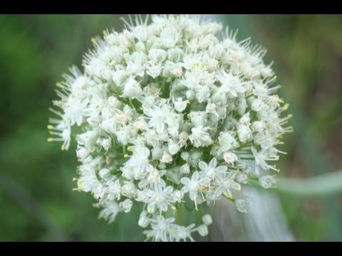 How to Save Onion seeds -The Wisconsin Vegetable Gardener Straight to the Point