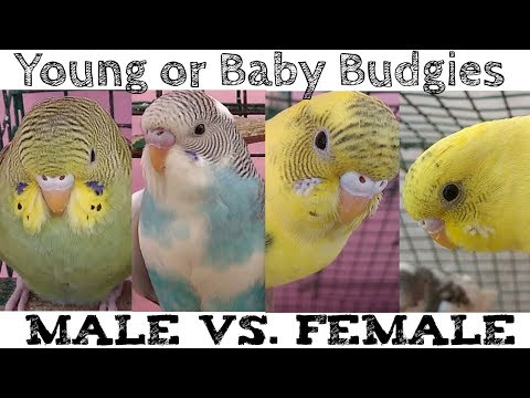 Baby Budgies Gender Difference   Male vs. Female Baby Budgies   Baby Budgie- Boy Or A Girl?  (Hindi)