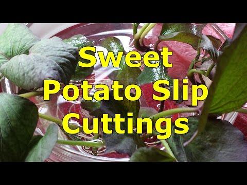 Cutting the Sweet Potato Slips
