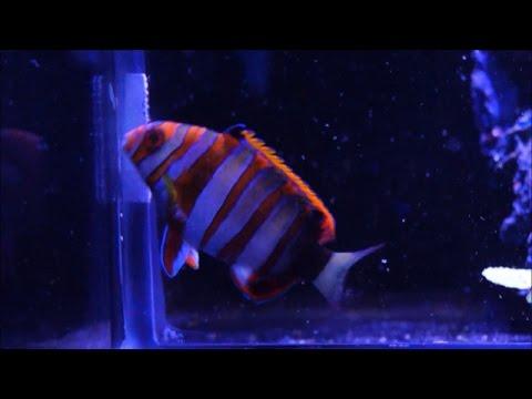 This Week at Elite Reef | anthias, harlequin tusk, clownfish, inverts, frags, regal tang