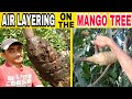 How to AIR LAYERING on the MANGO tree