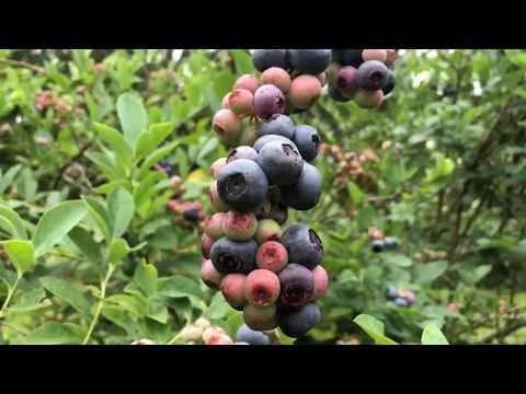 Our Blue berry blueberries bush