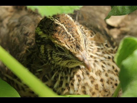 Quail Overwintering in the Greenhouse. Organic Forest Gardening. Mes cailles. Mis codornices .