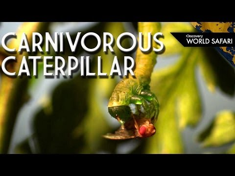 The Carnivorous Caterpillar Will Even Eat Its Own Kind!
