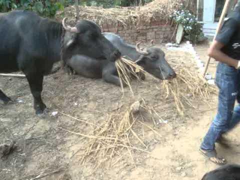 indian buffelow,indian milk animal,village life,milking